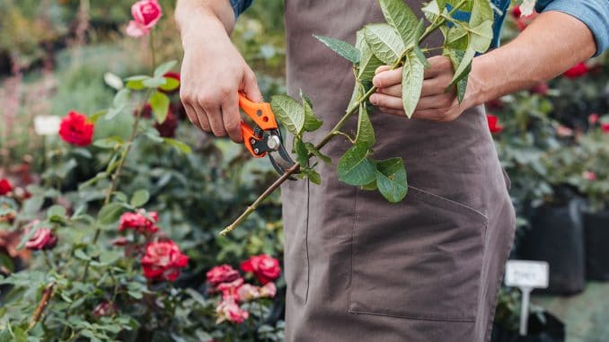 Best Secateurs Buyers Guide